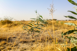 Afriflora Sher - nieuwe boom IDH project